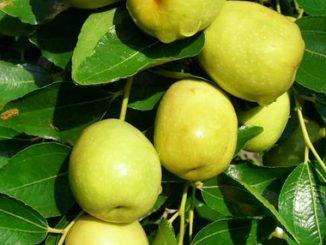 Những bài thuốc hay từ cây táo 20