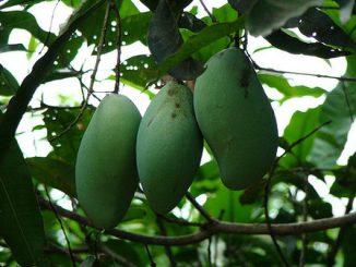 5 lợi ích sức khỏe mà trái xoài xanh mang lại 10
